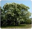 군목-이팝나무 이미지